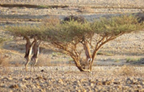 Acacias in the Arava – The 4th meeting