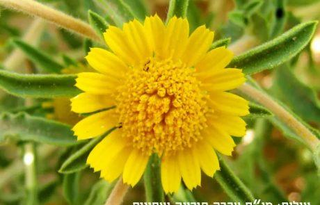 הכוכב הריחני: האם הצמח המדברי הזה יכול לרפא סרטן?