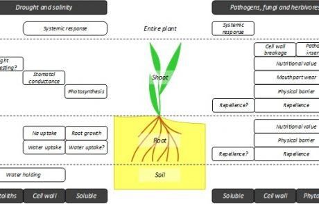 סיליקון ברצף הקרקע-צמח: מנגנוני משוב מורכבים במערכות אקולוגיות