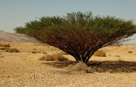 שיטה בערבה – חוקרי הארץ התגייסו למען עצי השיטים